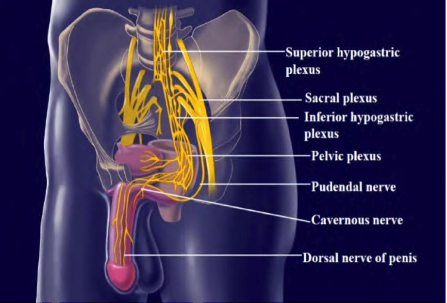 ANATOMÍA DE LOS GENITALES MASCULINOS – Instituto de Urologia y Sexologia